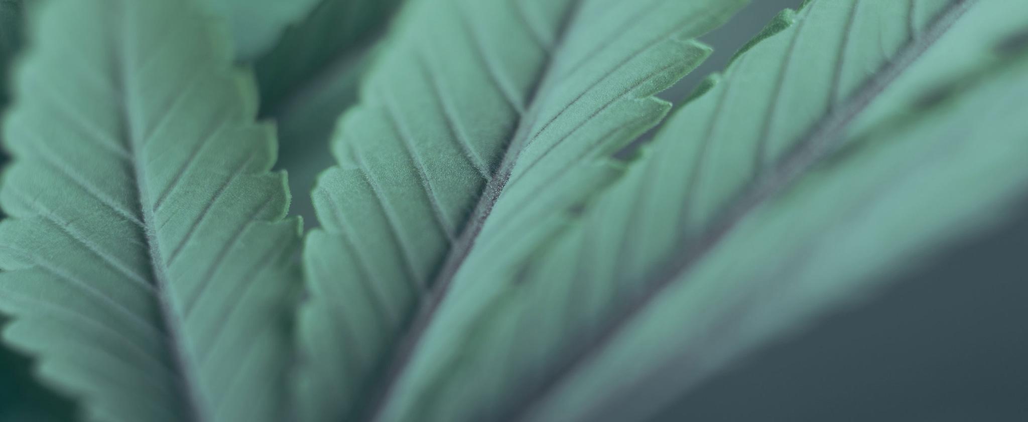 Closeup of hemp leaves