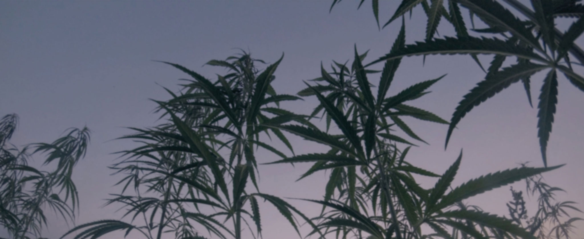 Hemp CBD plants at sunset
